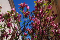 Зацветая магнолия весной на ясный день Стоковое фото RF