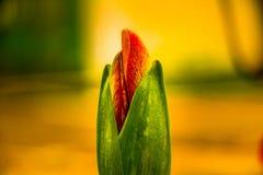 Зацветая макрос бутона стоковые фото