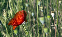 зацветая мак Стоковая Фотография RF