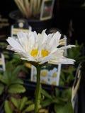 Зацветая маргаритка Shasta стоковые изображения
