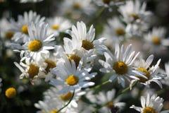 зацветая маргаритки Стоковые Фото