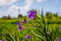 Зацветая мексиканская петунья на краю поля риса, Umalas, остров Бали, Индонезия Стоковые Фотографии RF