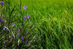 Зацветая мексиканская петунья на краю рисовых полей, Umalas, остров Бали, Индонезия Стоковая Фотография