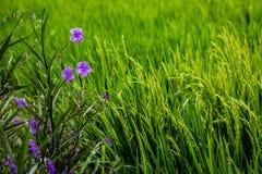 Зацветая мексиканская петунья на краю рисовых полей, Umalas, остров Бали, Индонезия Стоковые Изображения
