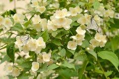 Зацветая насмешливый апельсин и бабочки Стоковая Фотография