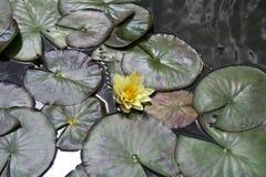 Зацветая одиночный цветок на предпосылке зеленых стержней, лилии стоковая фотография rf