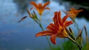 Зацветая оранжевая лилия цветет в парке города видеоматериал