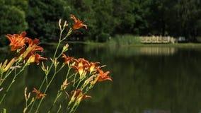 Зацветая оранжевая лилия цветет в парке города сток-видео
