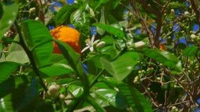 Зацветая оранжевое дерево сток-видео