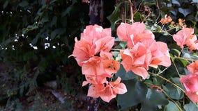 Зацветая оранжевые бумажные цветки (бугинвилия) в саде Стоковое Изображение