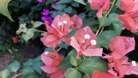 Зацветая оранжевые бумажные цветки (бугинвилия) в саде Стоковые Изображения RF