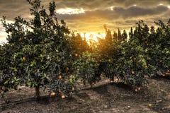 Зацветая оранжевый сад с зрея апельсином приносить на деревьях Стоковое Изображение RF