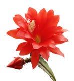зацветая орхидея изолированная кактусом стоковые фотографии rf