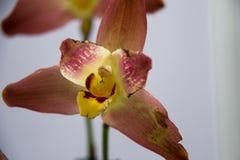 зацветая орхидеи Стоковые Изображения