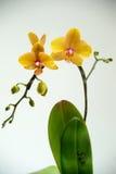 зацветая орхидеи Стоковое Изображение