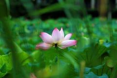 зацветая лотос цветка Стоковое Изображение RF