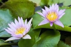 зацветая лотос цветка Стоковое Изображение
