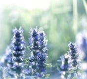 Зацветая одичалая мята Стоковая Фотография