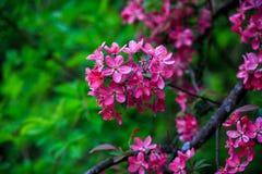 Зацветая одичалое яблоко Стоковые Изображения RF