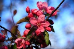Зацветая одичалое яблоко Стоковые Изображения
