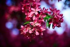Зацветая одичалое яблоко Стоковое Изображение