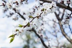 Зацветая одичалый абрикос в саде Стоковое Изображение