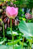 Зацветая одичалый цветок лотоса, остров Бали, Индонезия стоковые изображения rf