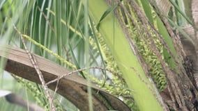 Зацветая пальма кокоса с небольшим близким взглядом насекомых сток-видео