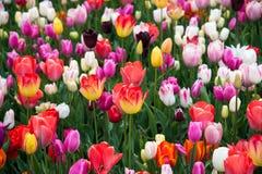 зацветая парк цветков Нидерланды, Европа Стоковая Фотография