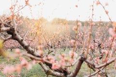 зацветая персиковое дерево Стоковая Фотография