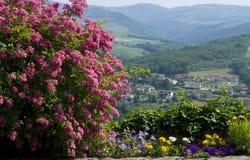 зацветая петунья bush подняла Стоковые Фотографии RF