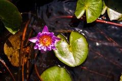 зацветая пинк лотоса цветка Стоковые Изображения