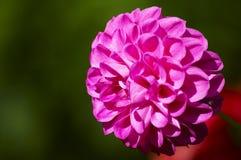 зацветая пинк цветка Стоковое Изображение