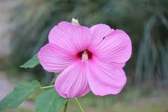 зацветая пинк цветка Стоковая Фотография RF