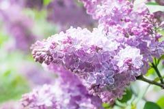 зацветая пинк цветков Взгляд макроса куста сирени Солнечный день, сцена времени весны Стоковое Фото