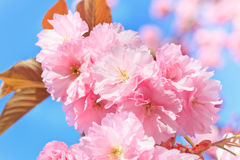 зацветая поднимающее вверх вишни близкое Стоковые Изображения