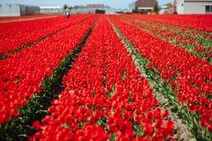 Зацветая поле красных тюльпанов с человеком вычисляет стоковые фото