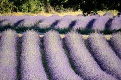 Зацветая поле лаванды, свисанное деревом стоковые изображения rf