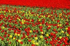 Зацветая поле тюльпана Стоковая Фотография