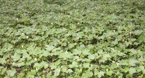 зацветая поле хлопка Стоковая Фотография