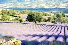 Зацветая поля лаванды окруженные деревьями Луга, поля, леса стоковое фото rf