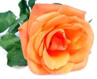 зацветая помеец цветка Стоковое Изображение