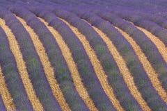 Зацветая поле лаванды Стоковая Фотография