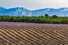 Зацветая поле лаванды Стоковые Фото