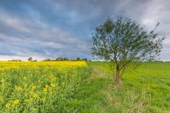 Зацветая поле рапса под облачным небом Стоковое фото RF