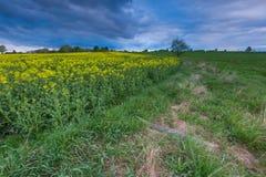 Зацветая поле рапса под облачным небом Стоковые Изображения RF