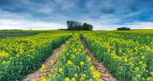 Зацветая поле рапса под облачным небом Стоковая Фотография RF