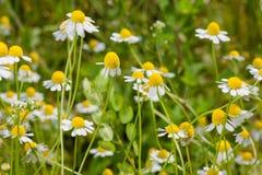 Зацветая поле стоцвета Стоковая Фотография RF
