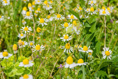 Зацветая поле стоцвета Стоковые Изображения RF