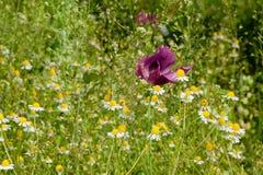 Зацветая поле стоцвета Стоковое фото RF
